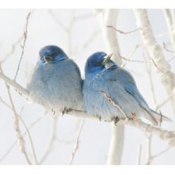 Beautiful little Mountain Bluebirds snuggle together.: Bluebirds, Animals, Winter, Nature, Beautiful Birds, Blue Birds, Photo