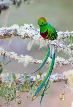 Beautiful Quetzal. It's the national bird of Guatemala, the money is called quetzales after the bird!: Animals, Nature, Color, Pretty Birds, Beautiful Birds, Beautifulbirds, Photo, Resplendent Quetzal