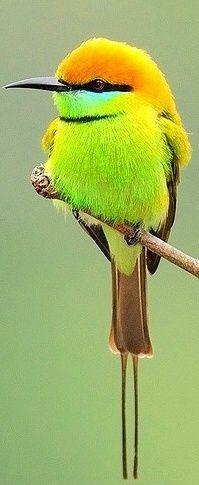 ~~Bee Eater | Bee-eaters are gregarious. They form colonies by nesting in burrows tunnelled into the side of sandy banks, such as those that have collapsed on the edges of rivers~~: Colorful Birds, Beautiful Colors, Chubby Birds, Beeeater, Animals Birds,
