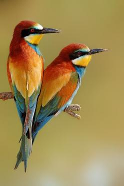 Bee-Eaters (such an odd name for such a beautiful bird.) They swoop the bees on the wing. From Europe and Africa....: Colour, Colorful Birds, Animals, Nature, Beautiful Birds