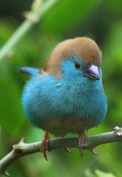 Blue Waxbill, also called Blue-breasted Cordon-bleu, is a common species of estrildid finch found in Southern Africa.: Blue Breasted Cordon Bleu, Southern Africa, Beautiful Birds, Animal