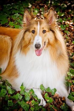 Collie reminds me of Sassy my kids first dog/:))) Shes been gone for lot years but still rember all the love she gave us.