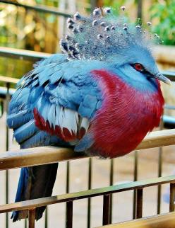 Crowned Pigeon.Awesome birds.And very pround of her beautiful pose.: Animals, Nature, Birdie, Creatures, Beautiful Birds