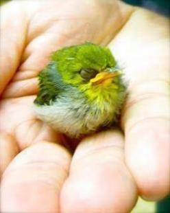 Cutest little bird ever...like a green cotton ball with a beak.: Animals, Mejiro Bird, Birdie, Little Bird, White Eye, Beautiful Birds, Angry Birds