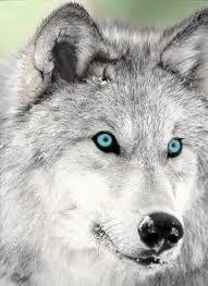 daze into the pure blue wolf eyes