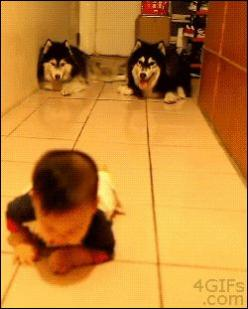 Dogs Imitate Baby's Crawl. What happens when he learns how to walk?. baby,cute,funny,Animals,dogs,GIFs