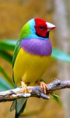 Gouldian Finch: Colorful Birds, Animals, Nature, Colors, Beautiful Birds, Gouldian Finch