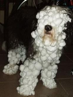 He just wanted to play in the snow..: Snow Balls, Dogs, English Sheepdog, Play, Funny Animal, Poor Baby
