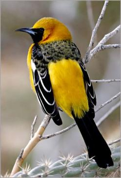 Hooded Oriole © Carlos Esamilla  Named for the orange hood on the male, this slender oriole is at home in suburban areas of the southwestern US. It originally nested in the trees of desert oases, but finds ornamental trees suitable.: Nature, Beautiful Bir