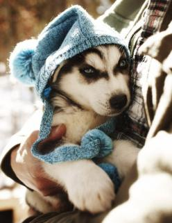 husky puppy keeping warm :): Siberian Husky, Baby Huskies, Baby Husky, Siberian Huskies, Blue Eyes, Huskies Puppies, Adorable Animal