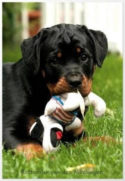 """I have found that when you are deeply troubled, there are things you get from the silent devoted companionship of a dog that you can get from no other source."" ― Doris Day: Rottweilers, Rottie Puppies, Rotti S, Rottie Puppy, Rottweiler Pup, Rottweiler S,"