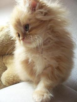 I think this is what my Libellule kitten would have looked like when she was a baby kitteh <3: Cats, Kitty Cat, Animals, Sweet, Fluffy Kitten, Kitty Kitty, Baby, Kittens, Creamsicle Kitten