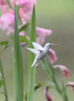 I wish someone could tell me the name of this hummingbird.  I have a lovely print that shows it, and I would love to know where it's from, etc.: Humming Birds, Animals, Nature, Beautiful Birds, Garden, Albino Hummingbird, White Hummingbird, Hummingbir