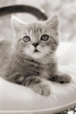 If Shain saw this kitty it would already be in my living room!!!!: Cats, Kitty Cats, Gray Kitten, Sweet, Grey Kitten, Kitty Kitty, Kittens, Things, Animal