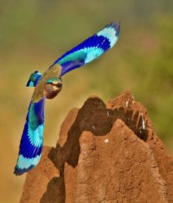 Indian Roller: When the 'Neelkanth' / Indian Roller (Coracias benghalensis) is in flight, the most glorious of all blue feathers - the bright-blue, turquoise and indigo are all visible in their full majesty. The bird is best known for the aerobati