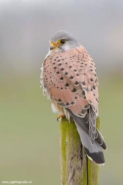 Kestrel/ Torenvalk°°: Kestrel Torenvalk, Color, Birdie, Pretty Birds, Beautiful Birds, Animal