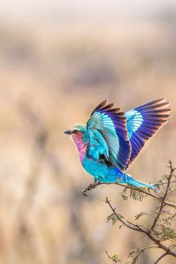 Lilac Breasted Roller in flight: Animals, Nature, Beautiful Birds, Tattoo