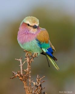 Lilac-Breasted Roller: Rollers, Animals, Lilacbreastedroller, Beautiful Birds, Lilacs
