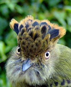 Lophotriccus pileatus- The Scale-crested Pygmy Tyrant is a species of bird in the Tyrannidae family. It is found in Colombia, Costa Rica, Ecuador, Panama, Peru, Venezuela, and possibly Honduras.