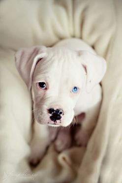 Love unique pretty eyes.: Animals, Dogs, Brown Eye, Pitbull, Pets, Puppys, Blue Eyes, Pit Bull