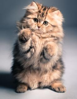 """Meet the Kitten That Saved My Life (=^.^=) Thanks, Pinterest Pinners, for stopping by, viewing, re-pinning, & following my boards. Have a beautiful day! ^..^ and """"Feel free to share on Pinterest ^..^ #catsandme #cats: Cats, Beautiful Cat, Kitty Cat, F"""