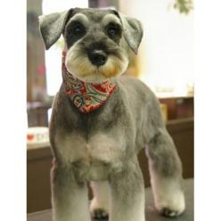 Mini Schnauzer haircut, this little mini looks like Jasper but if it isn't little Jasper it sure looks like him