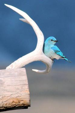 Mr. Blue Bird on my antler, it's the truth, it's actual, everything is satisfactual!  Zippety Do Da: Bluebirds, Animals, Poultry, Color, Beautiful Birds, Blue Birds