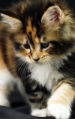 My cat does not talk as respectfully to me as I do to her. ~Sidonie-Gabrielle Colette  What a beautiful cat!!  W.S: Cats, Kitty Cat, Kitty Kitty, Kittens, Pretty Kitty, Calico Cat, Animal