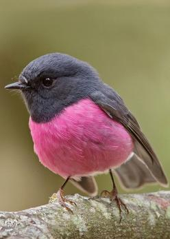 Pink Robin (Petroica rodinogaster) by Tim Collins Tasmania. So pretty: Animals, Nature, Robins, Beautiful Birds