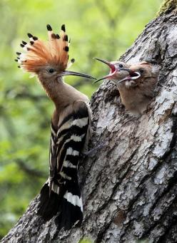 Poupa Hoopoe (Upupa epops) is a colourful bird that is found across Afro-Eurasia, notable for its distinctive 'crown' of feathers.: Photos, Animals, Nature, Mother, Creature, Baby, Beautiful Birds, Photography