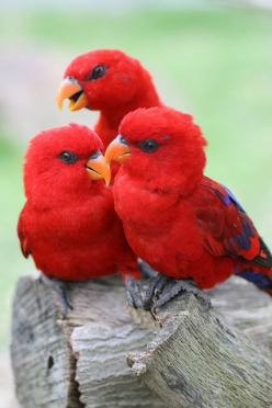 red lories  (photo by chinnchiyuu)... These are small parrots found in Australia. They also come in all blues, and mixed brilliant colors. Fascinating birds and Pinterest introduced them to me: Animals, Nature, Color, Beautiful Birds, Red Birds, Red Lorie