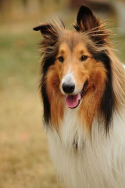 Reminds me of my great-grandmother, Nanny. When I was little, I would spend the night with her and she would tell me stories about Lassie.: Rough Collies, Collie Dogs, Beautiful Lassie, Beautiful Collie, Collie Boy, Beautiful Dogs