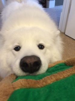 Skookum executing an absolutely perfect begging face. | 39 Photos For Anyone Who's Just Having A Bad Day: Perfect Begging, 39 Photos, Begging Face, Absolutely Perfect, Skookum Executing, Bad Day, Animal