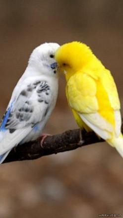 So precious! Love my 4 of and love to hear them communicate with each other and my other bird family...reminds me of the sounds of Spring.: Animals, Budgie, Birdie, Beautiful Birds, Sweet Kisses