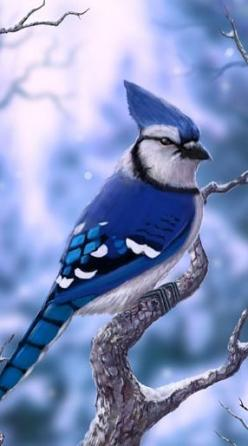 The Blue Jay is a passerine bird in the family Corvidae, native to North America. It is resident through most of eastern and central United States and southern Canada, although western populations may be migratory.: Blue Jay Bird, Blue Jays Bird, North Am