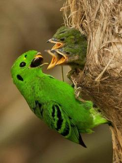 The Green Broadbill is a small, approximately 17 cm long, brilliant green-plumaged bird with a black ear patch, wide gape bill, rounded head, short tail and three black bars on wings.: Green Broadbill, Broadbill Feeding, Animals, Broadbill Calyptomena, Be