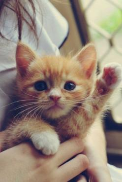 The only cat I'd ever want is an orange one, and preferably one that would stay this little forever. This is adorable.: Cats, Animals, Pets, Adorable, Box, Baby, Kittens, Kitty, Orange Kitten