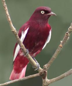 The Pompadour Cotinga (Xipholena punicea) is a species of bird in the Cotingidae family, the cotingas. It is found in Bolivia, Brazil, Colombia, Ecuador, French Guiana, Guyana, Peru, Suriname, and Venezuela. Its natural habitat is subtropical or tropical