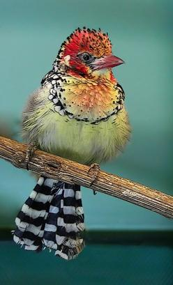 The Red-and-yellow Barbet (Trachyphonus erythrocephalus) is a species of African barbet found in eastern Africa.  So pretty and unique!: Color, Yellow Barbet, Pretty Birds, Beautiful Birds, Animal