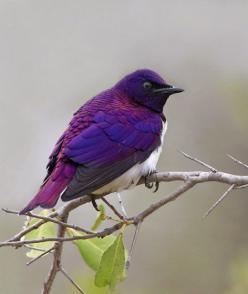 The Violet Backed Starling.This is one of my favorite birds; it's right up there with the peacock! :): Purple Bird, Color, Birdie, Purple Passion, Beautiful Birds, Violet Backed Starling, Animal