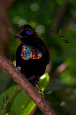 This photo was taken on March 28, 2013 in Tanubada, Central, Papua New Guinea, using a Canon EOS REBEL T3i.: Animals, Nature, Birdie, Parotia Bird, Beautiful Birds, Bird Of Paradise, Ave