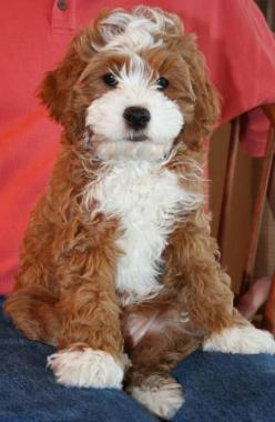 This would be the perfect companion for Zoe!!  cockalier poodle: cocker spaniel, cavalier king charles spaneil, and poodle.: Cocker Spaniel, Cavalier King Charles, Dog, Cockalier Poodle, Animal, King Charles Spaniels
