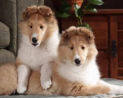 Top 10 Easiest To Train Dog Breeds: Border Collies, Border Collie Puppies, Dogs, Pet, Puppys, Australian Shepherd, Animal