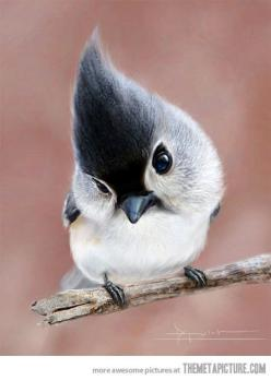 Tufted Titmouse: the most beautiful bird in the world…: Tufted Titmouse, Animals, Sweet, Nature, Birdie, Beautiful Birds