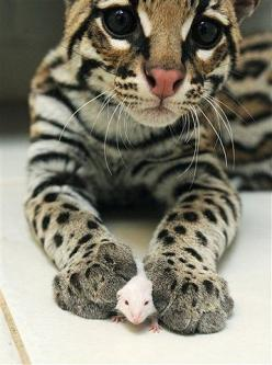 a baby ocelot playing with a little mouse :) @Kim Singleton can have the mouse. I want the ocelot!: Big Cat, Cats, Beautiful Cat, Animals, Bengal Cat, Pets, Things, Kitty, Eye