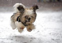 A run in the snow.: Animals, Dogs, Pets, Snow, Funny, Puppy, Shih Tzu, Things