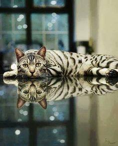 Awesome photo, beautiful cat!: Bengal Cats, Beautiful Cat, Animals, Kitty Cat, Kitten, Pet, Reflections, Kitty Kitty, Feline