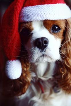 Awws reminds me of pumpkin when he was a puppy all he needs is some freckles in a shape of a heart on his nose: Holiday, King Charles, Dogs, Pet, Puppy, Cavalier King, Christmas Dog, Animal