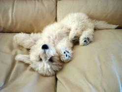 bichon frise puppy: looks just like my cuddle puppy at home. Love her!  She loves to lie on the couch just like that. : Animals Dogs Bichons, Cuteness, Bichon Frise, Pets, Puppys, Bichon Puppy, Adorable, Day