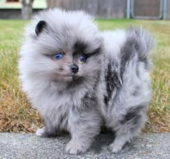 Blue Merle Pom! Merle's are so unique and beautiful, just like my bear <3: Animals, Dogs, Pompom, Pet, Beautiful, Puppys, Blue Merle Pomeranian, Pomeranians, Pom Pom